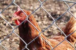 rooster 5810844 1920 ©pixabay