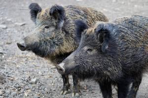 Wildschwein © pixabay ©pixabay